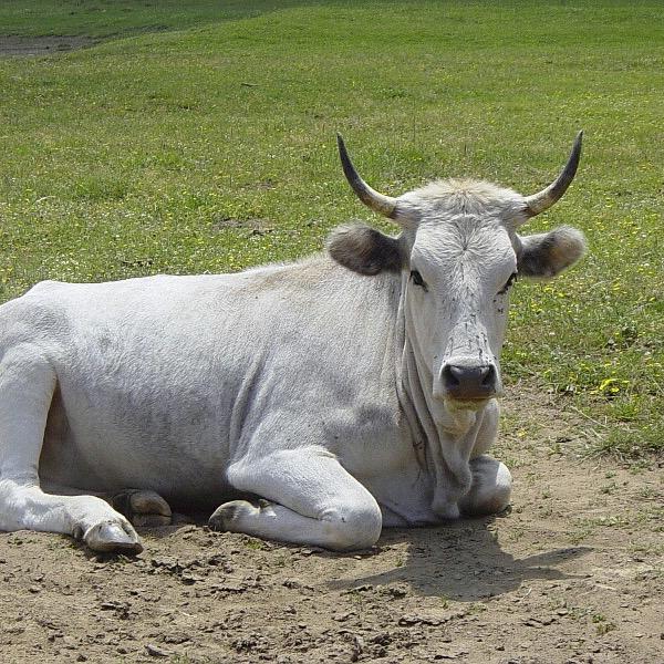 """Ricerca - """"Perché le mucche hanno le corna"""""""