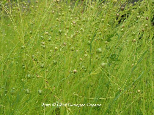 Lino pianta