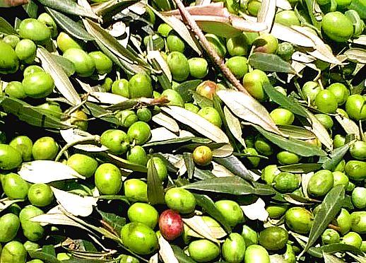 Olive raccolte doria 518