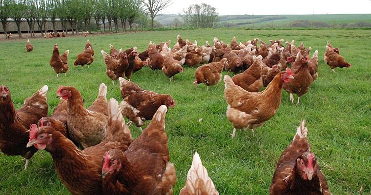 Usa Benessere Animale In Zootecnia Bio Rimandato