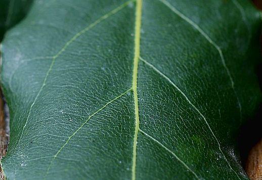 Venature foglie alloro 518