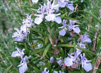 Rosmarino fiori 518