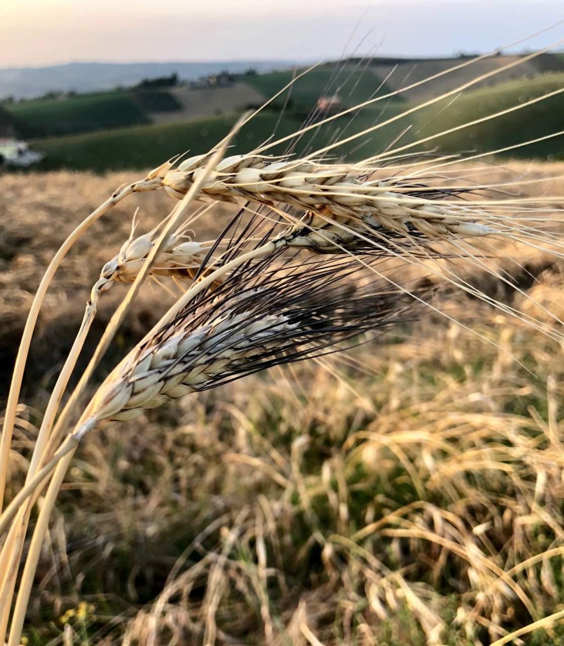 Spighe e campo di grano duro di antiche varietà