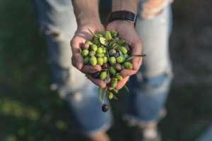 liguria olive