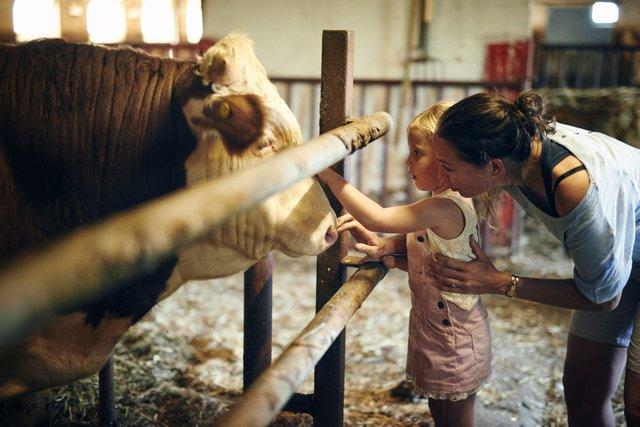 bambina con madre che accarezza un bovino nel North Jutland