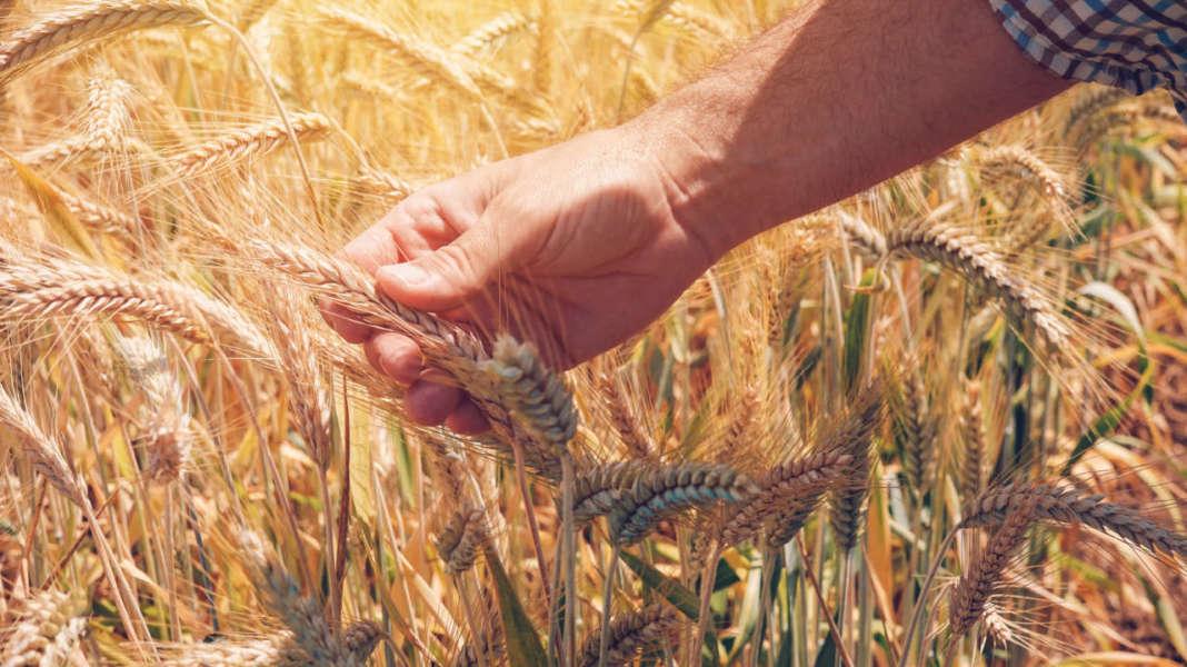 rese del biologico, contadino in campo di frumento